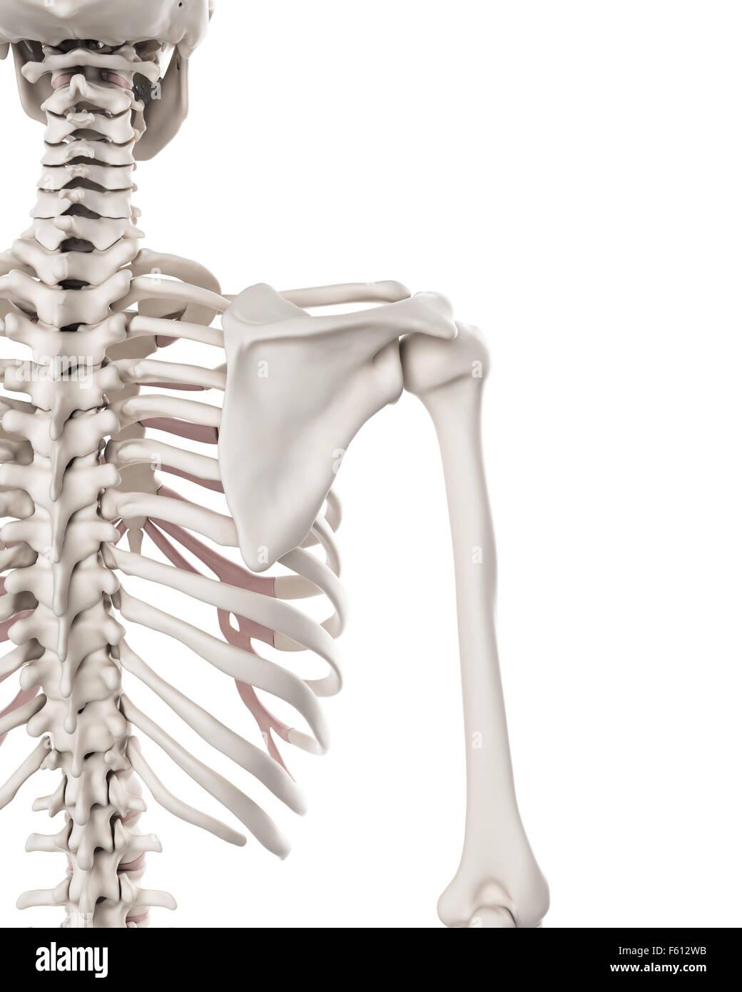 Niedlich Schulterknochen Anatomie Ideen - Menschliche Anatomie ...