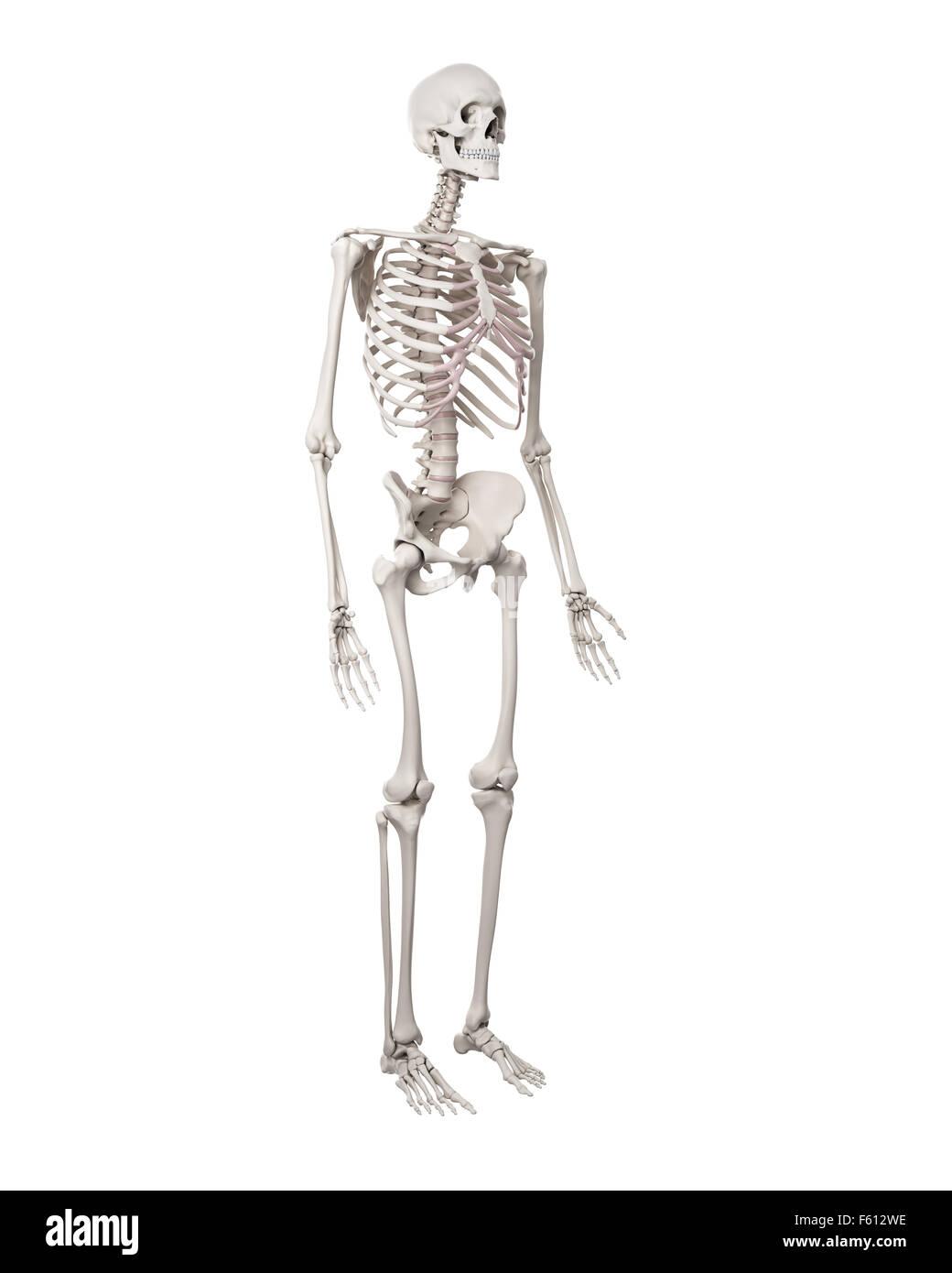 Niedlich Organe Des Skelettsystems Bilder - Anatomie Von ...