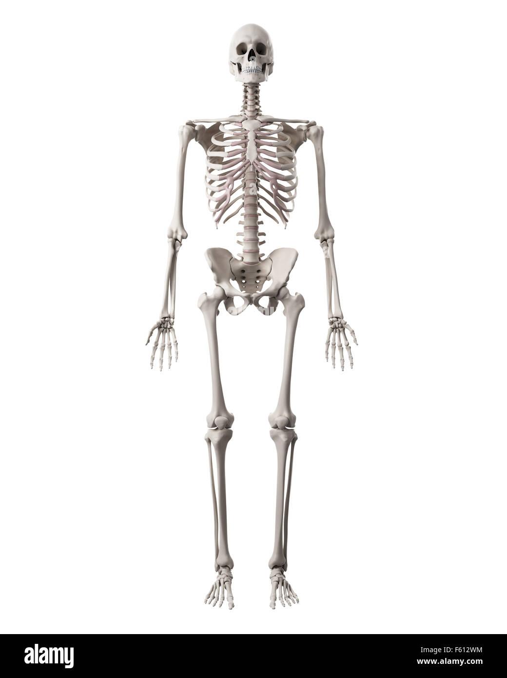 Großzügig Unmarkiertes Menschliches Skelett Diagramm Galerie ...