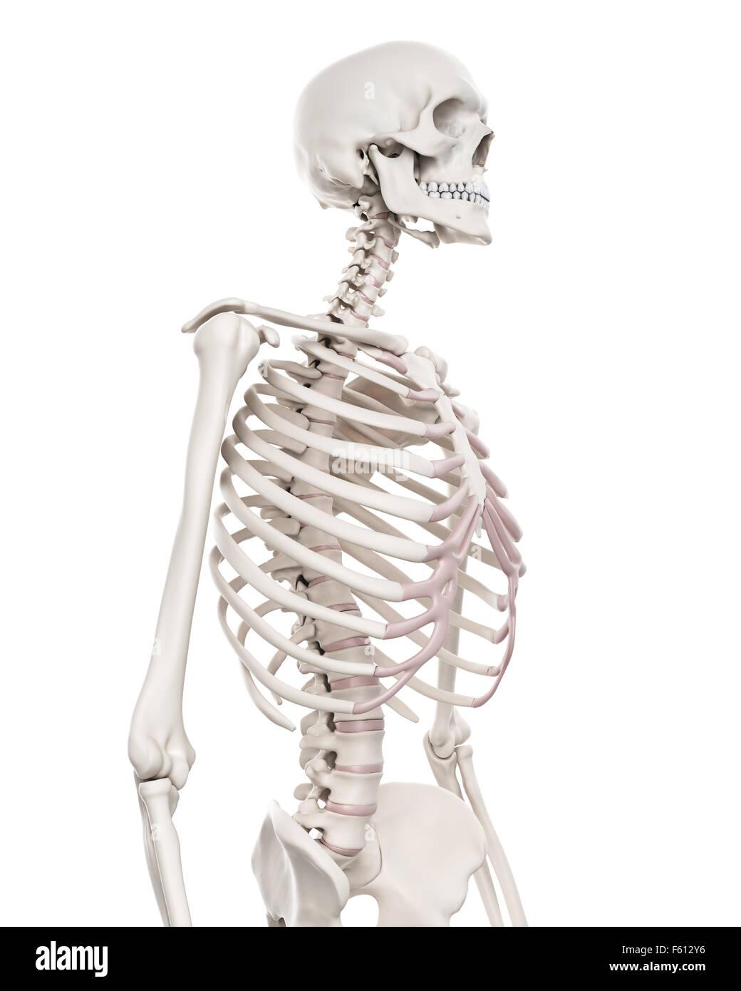 Charmant Skelett Systems Teile Ideen - Menschliche Anatomie Bilder ...