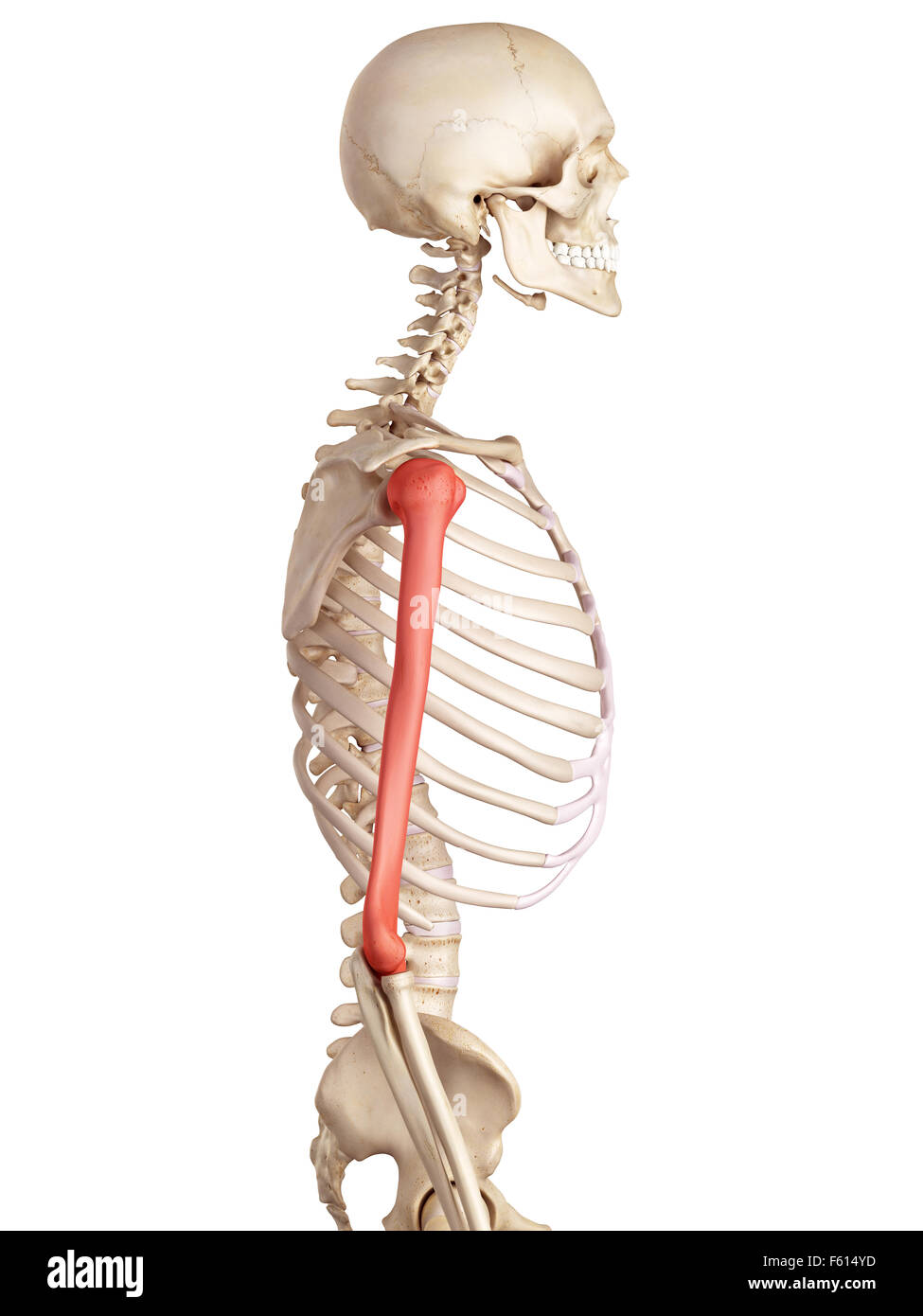 medizinische genaue Abbildung des Humerus Knochens Stockbild