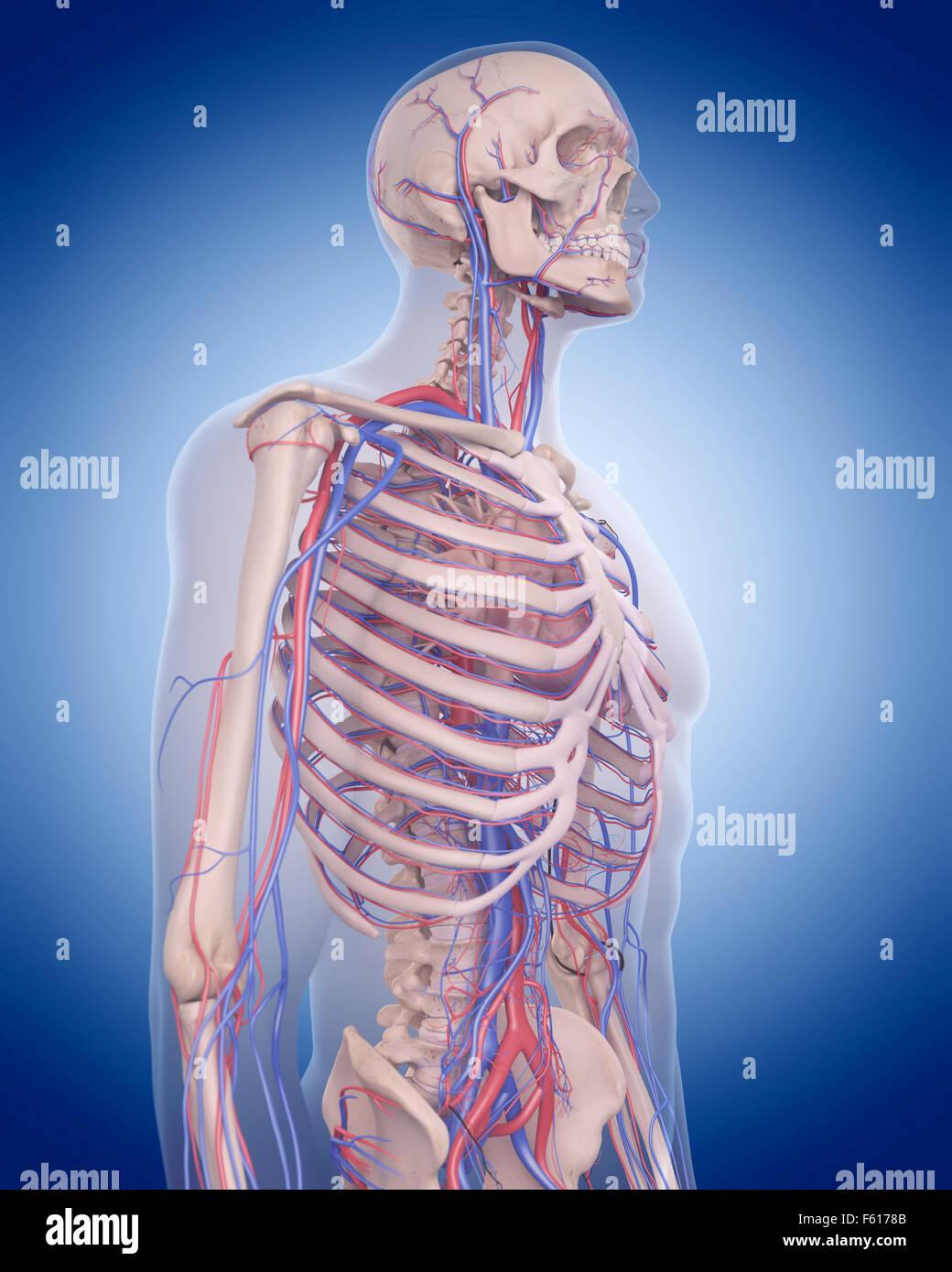 Erfreut Organe Des Kreislaufsystems Bilder - Menschliche Anatomie ...
