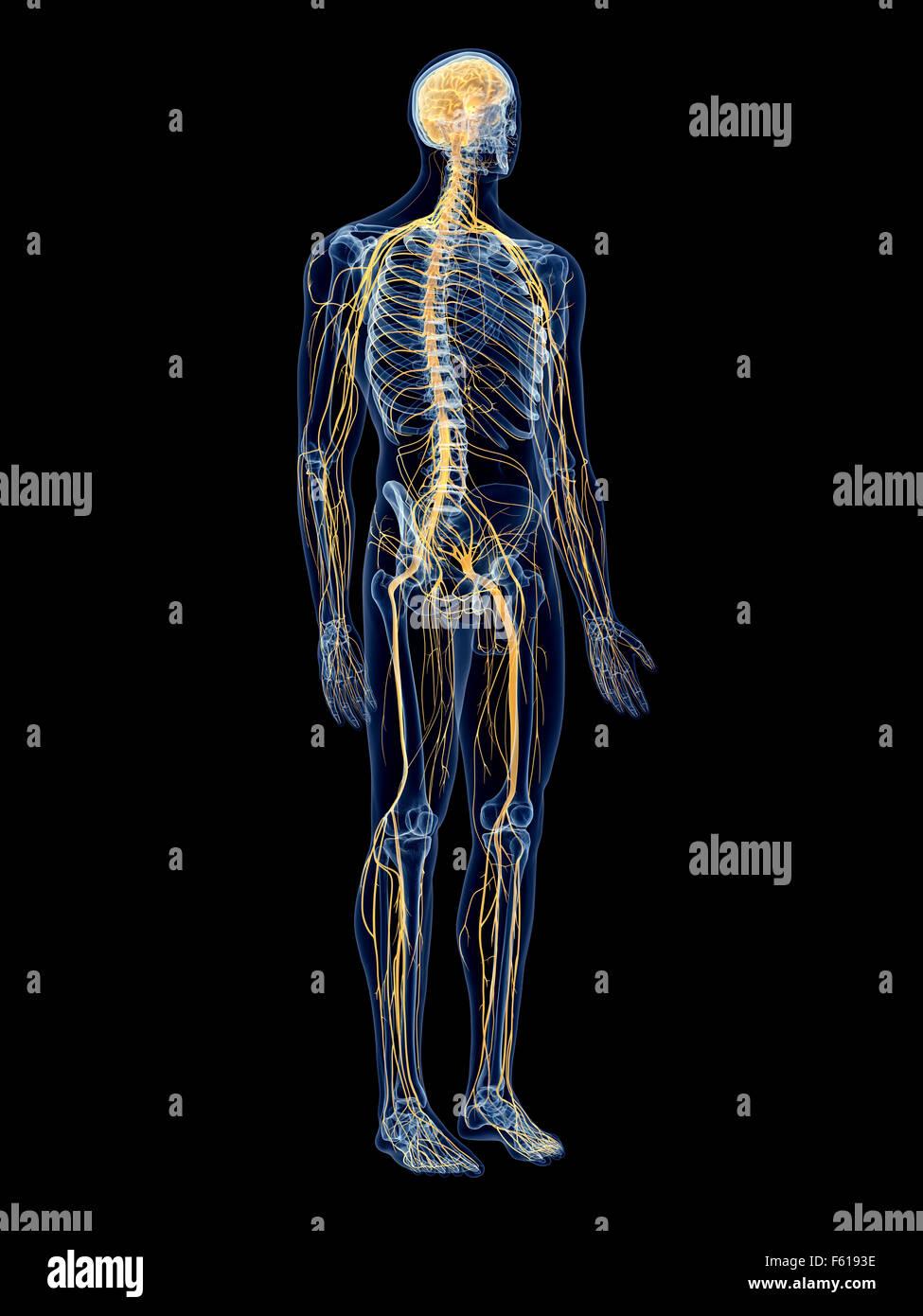 medizinisch genaue Abbildung des Nervensystems Stockfoto