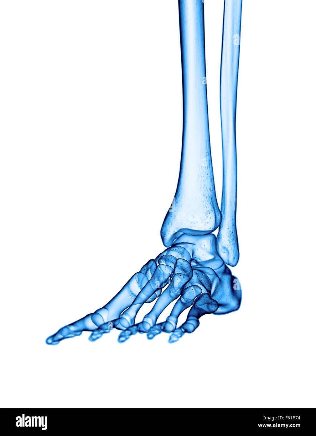 Gemütlich Fußanatomie X Ray Galerie - Anatomie Von Menschlichen ...