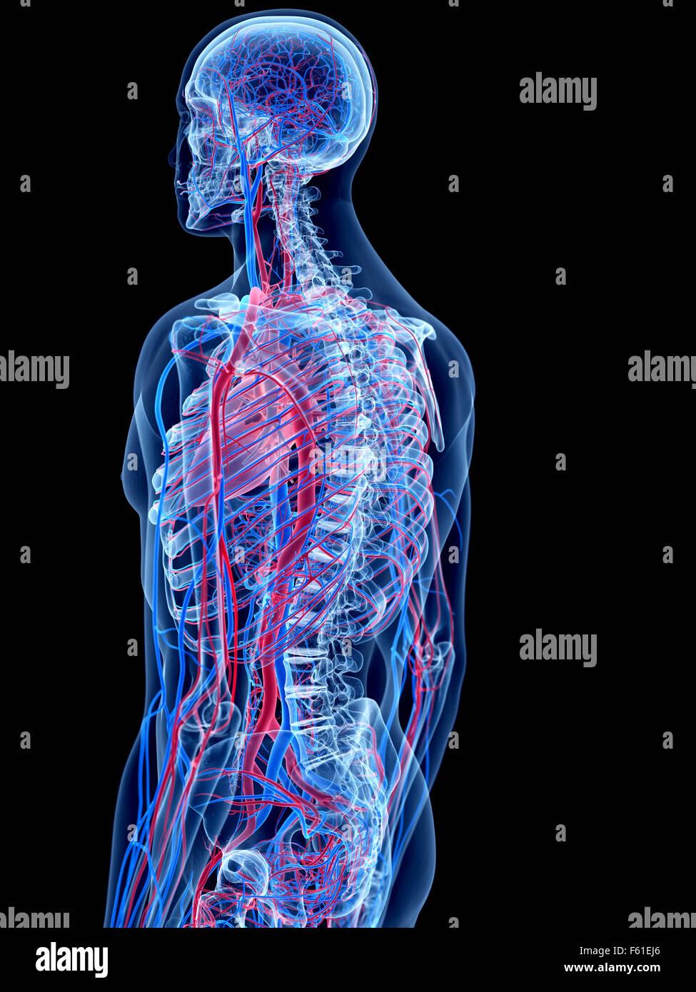 das menschliche Gefäßsystem Stockfoto, Bild: 89773214 - Alamy