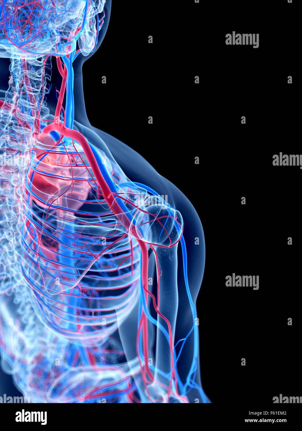 das menschliche Gefäßsystem - Schulter Stockfoto, Bild: 89773266 - Alamy