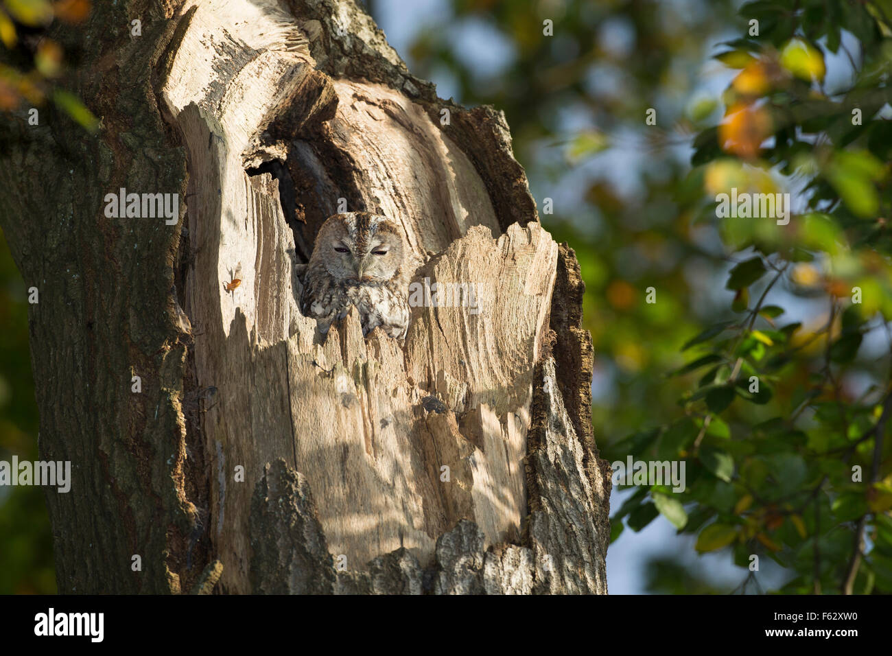 Waldkauz, Waldkauz, Ruht bin Tage in Einer Baumhöhle, Strix Aluco, Wald-Kauz, Kauz, Käuzchen Stockbild