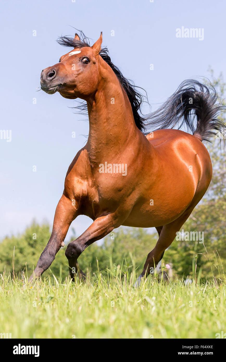 Arabische Pferd, Arabisches Pferd. Bucht Hengst durchführen Anzeige Verhalten auf einer Weide. Schweiz Stockbild