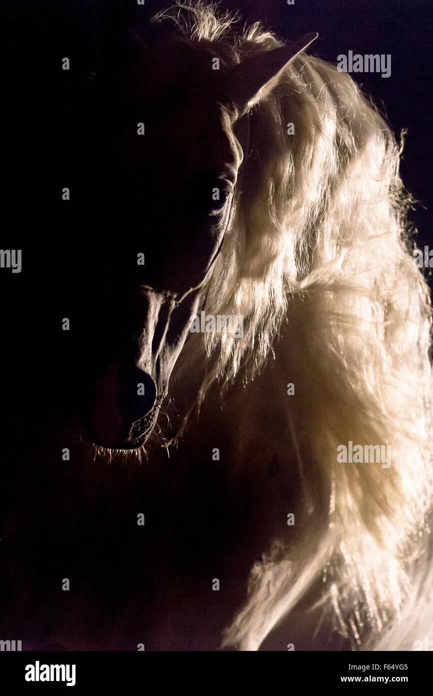 Rein spanische Pferd, andalusischen. Portrait des Hengstes bei Gegenlicht, vor einem schwarzen Hintergrund zu sehen. Stockbild