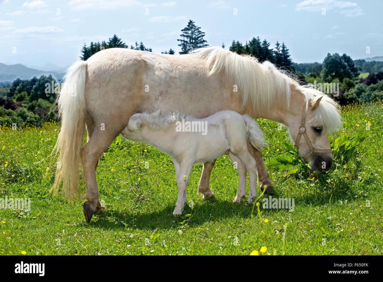 mini shetland pony palomino stute pflege fohlen 1 woche alt cremello auf einer wiese. Black Bedroom Furniture Sets. Home Design Ideas