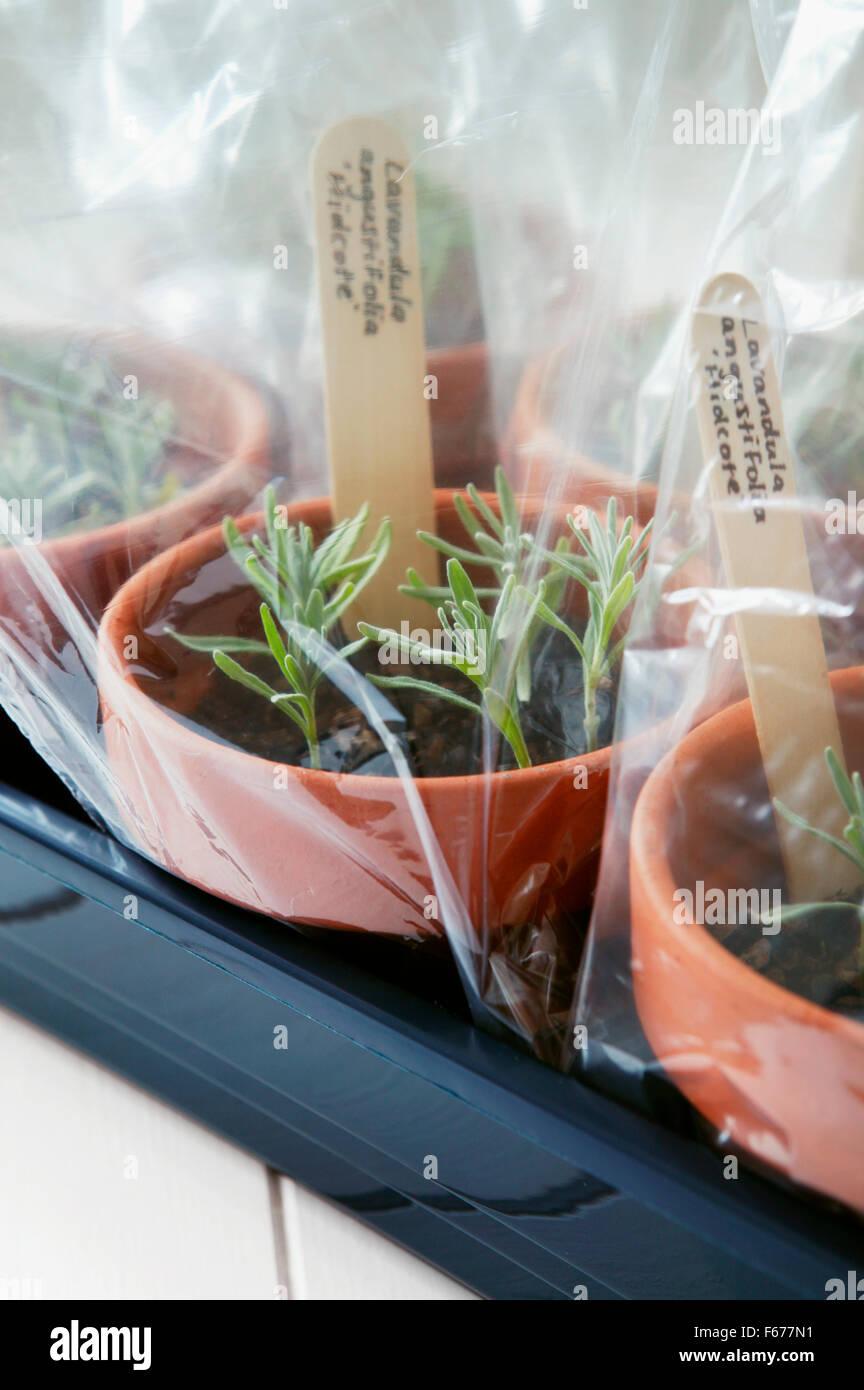 Vermehrung Von Lavendel Topfe Mit Gepflanzten Stecklinge Mit Klar