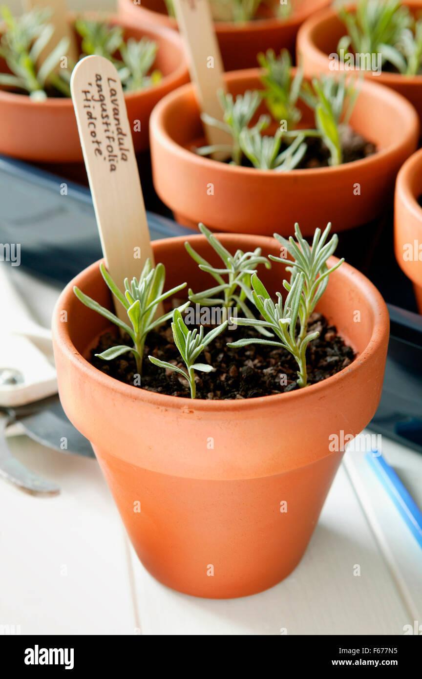 Vermehrung Von Lavendel Topf Mit Transplantierten Stecklinge