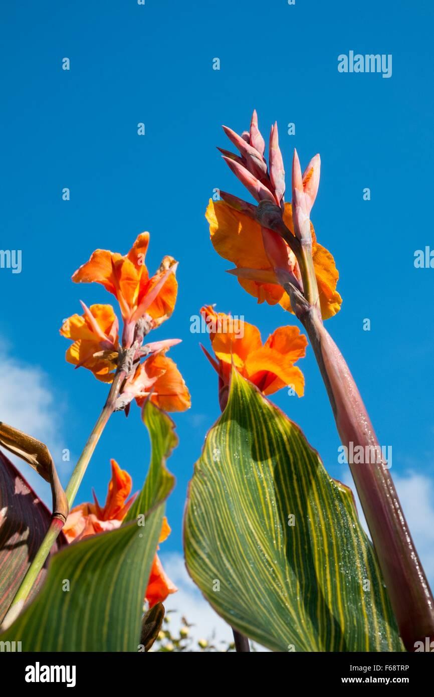 Canna Lilien, Blüte mit blauem Himmel England UK Stockbild