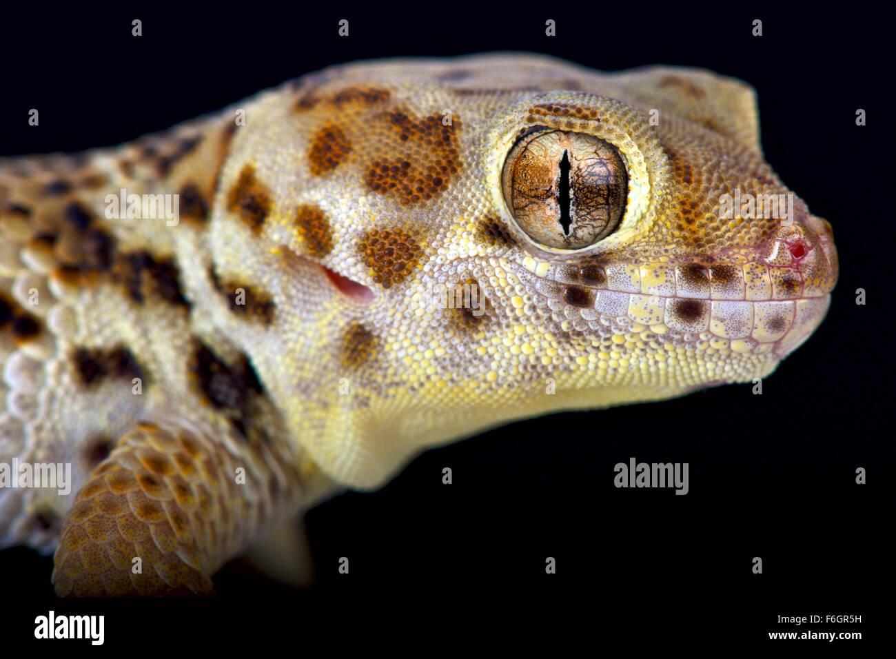 Wunder Gecko (Teratoscincus Scincus) Stockbild