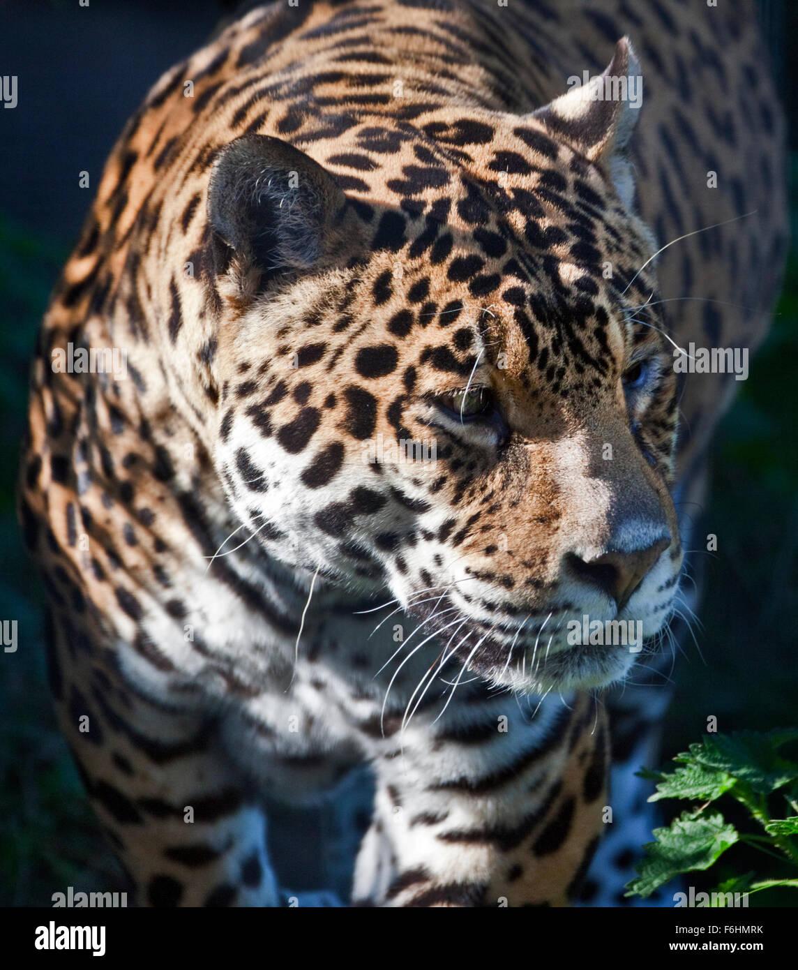 Jaguar (Panthera Onca) Stockbild