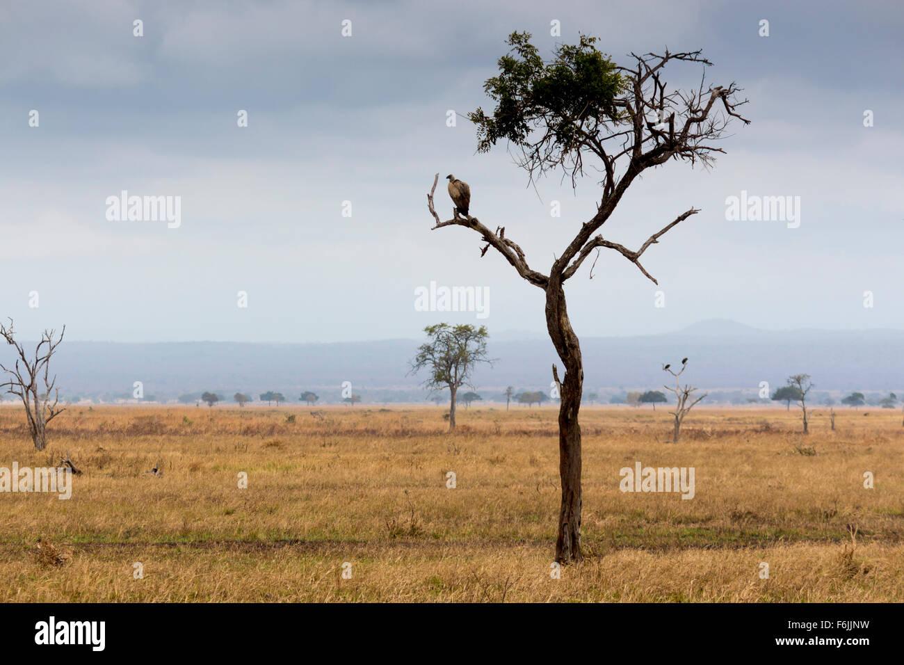 Ein Baum mit einem Geier auf einem Ast saß. Hintergrund zeigt eine Safari Savanne Szene Stockbild