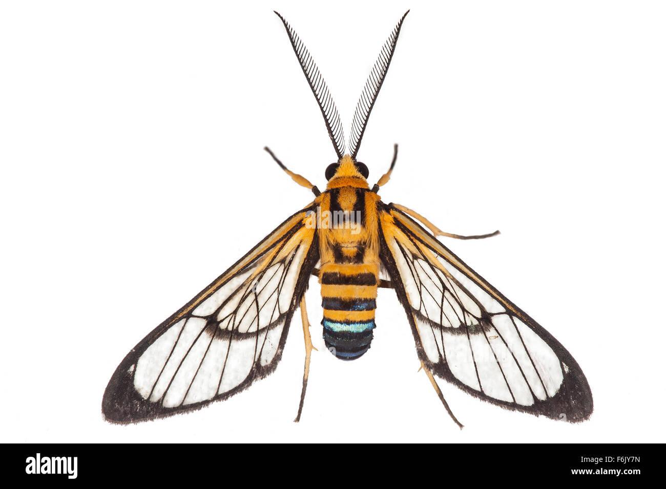 Diese Motte ist eine Wespe nachahmen - ein klassisches Beispiel für Batesian Mimikry. Auf weißem Hintergrund Stockbild