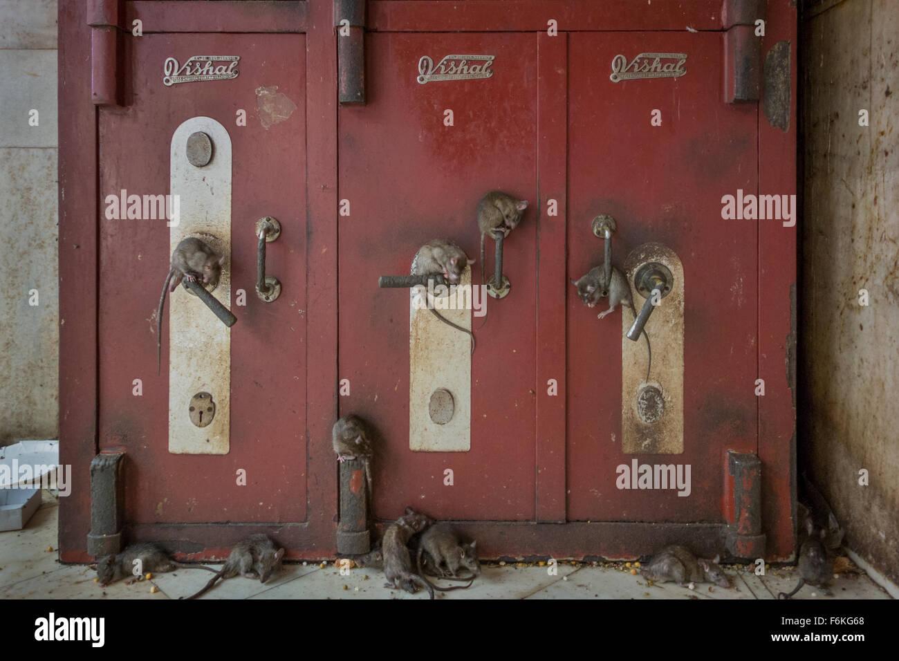 Viele, viele Ratten decken alle Oberflächen im Karni Mata Tempel in Deshnok, Indien. Stockbild