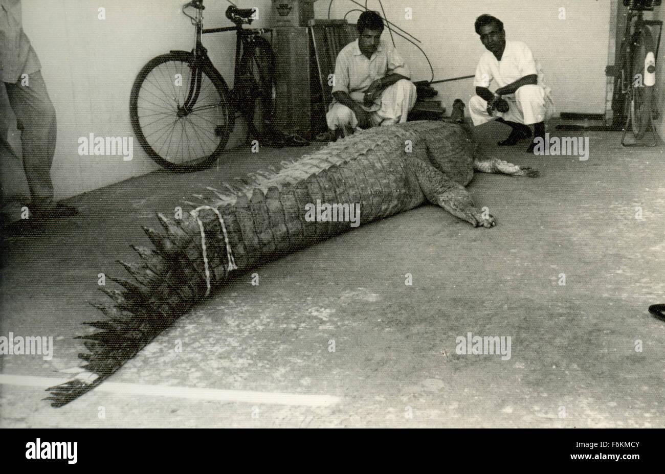 Krokodil gefangen, Pakistan Stockbild