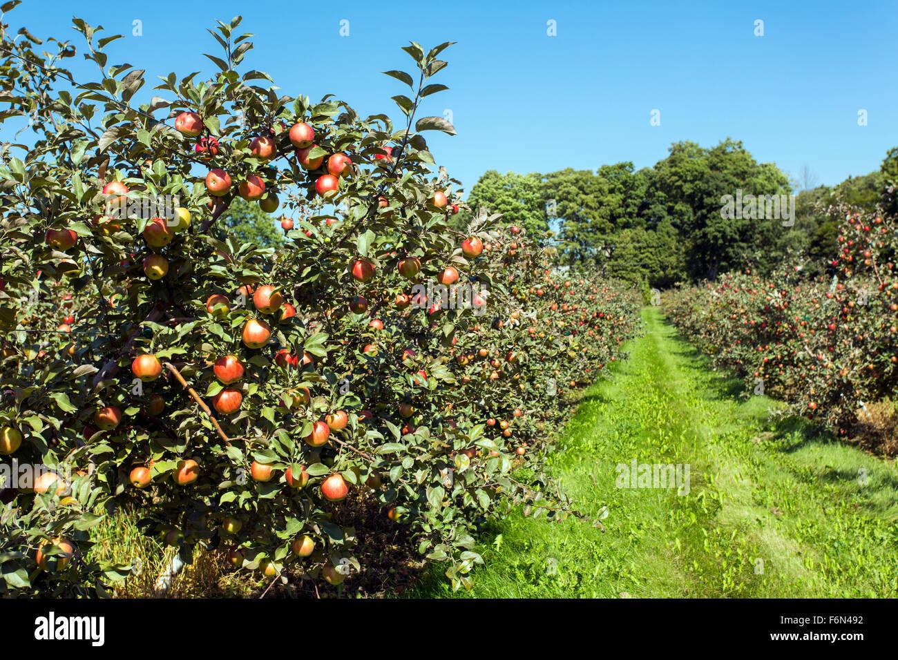 USA, Wisconsin, Door County, Apfelgarten mit reifen Früchten Stockbild