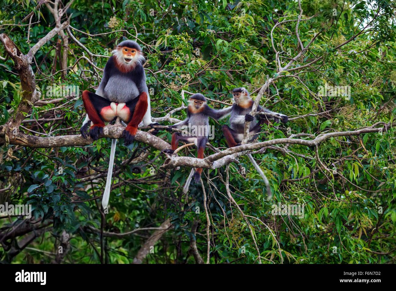 Erwachsene männliche Red Schaft-Douc in den Baumkronen im Son Tra Naturreservat in Vietnam eine Baby-/Kinderbetreuung Stockbild