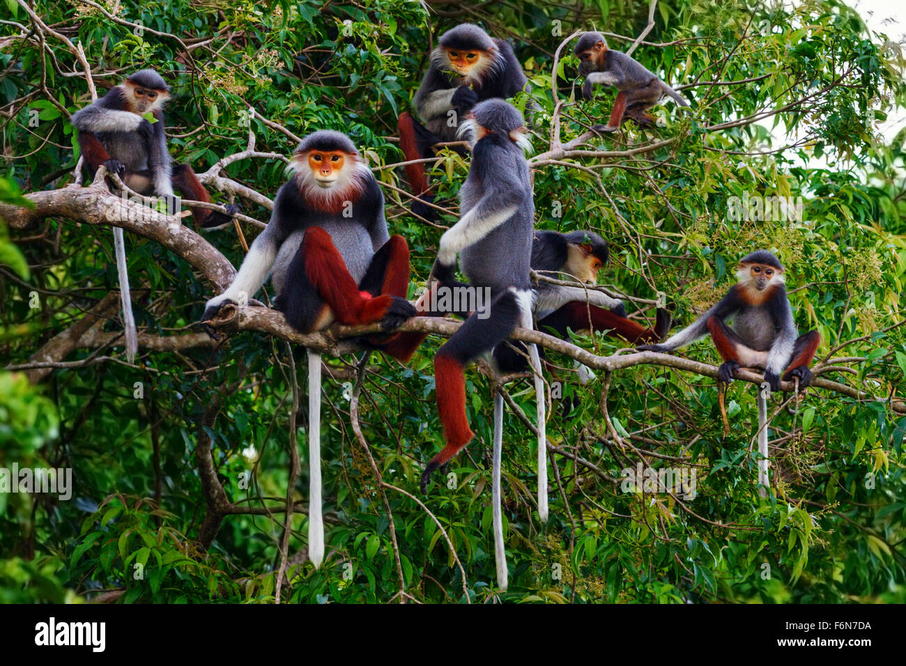 Rot-Schaft-Douc Familiengruppe Fütterung in den Baumkronen im Son Tra Naturreservat in Vietnam Stockbild