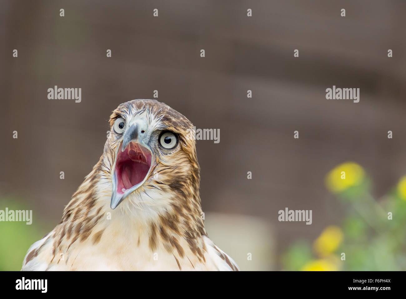 Nahaufnahme der schreienden Bird Of prey Stockbild
