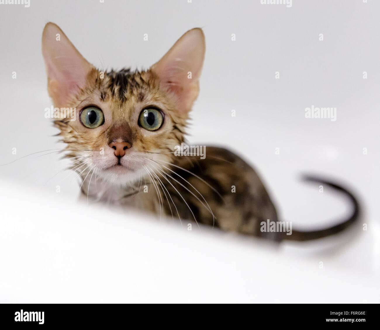 Weibliche Bengalkatze Kitten an Kamera mit Badewanne und Dusche in der Wanne Model Release: Nein Property Release: Stockbild