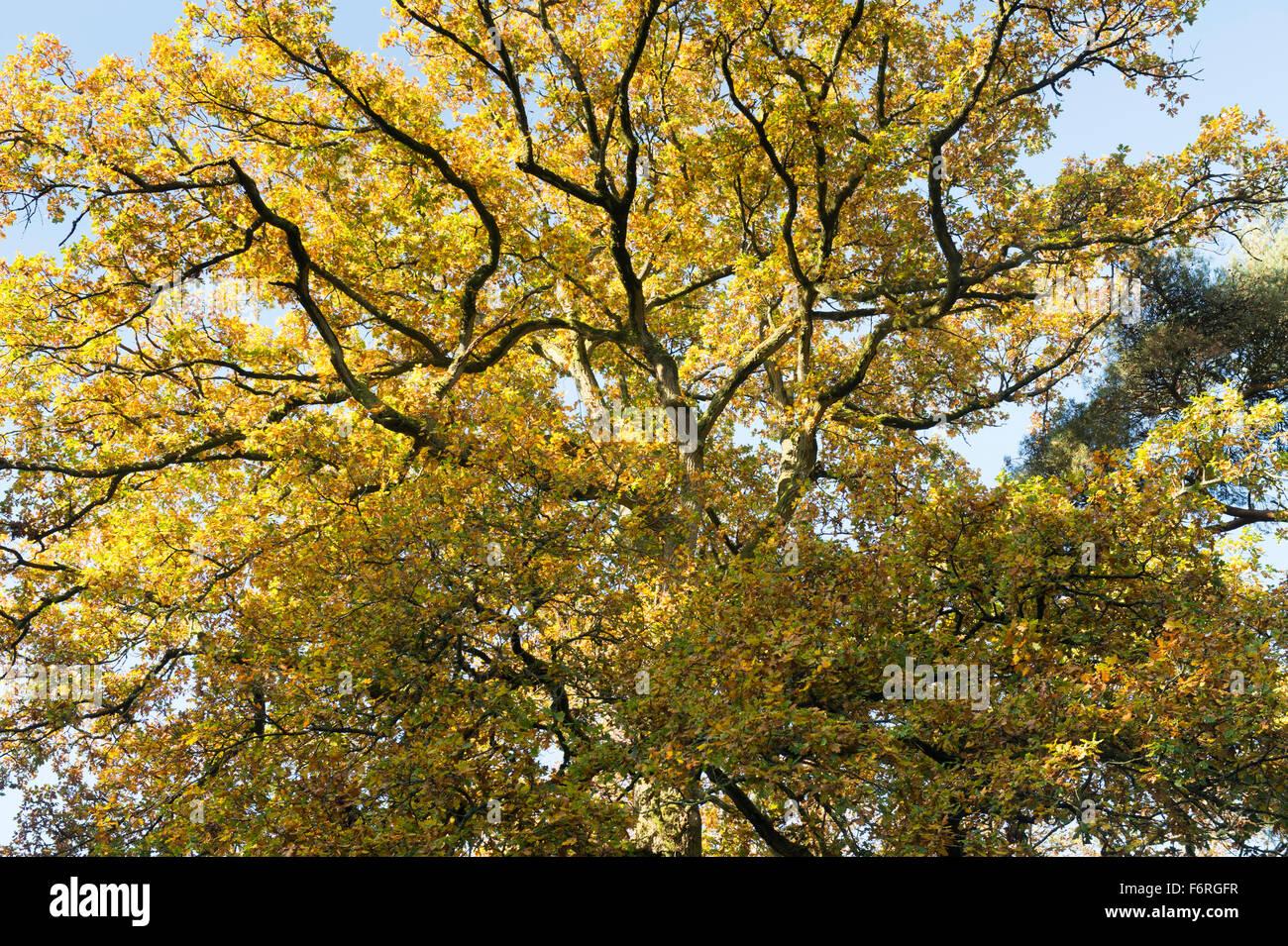 Quercus Robur Eiche Blatter Im Herbst Farbwechsel Baldachin Uk