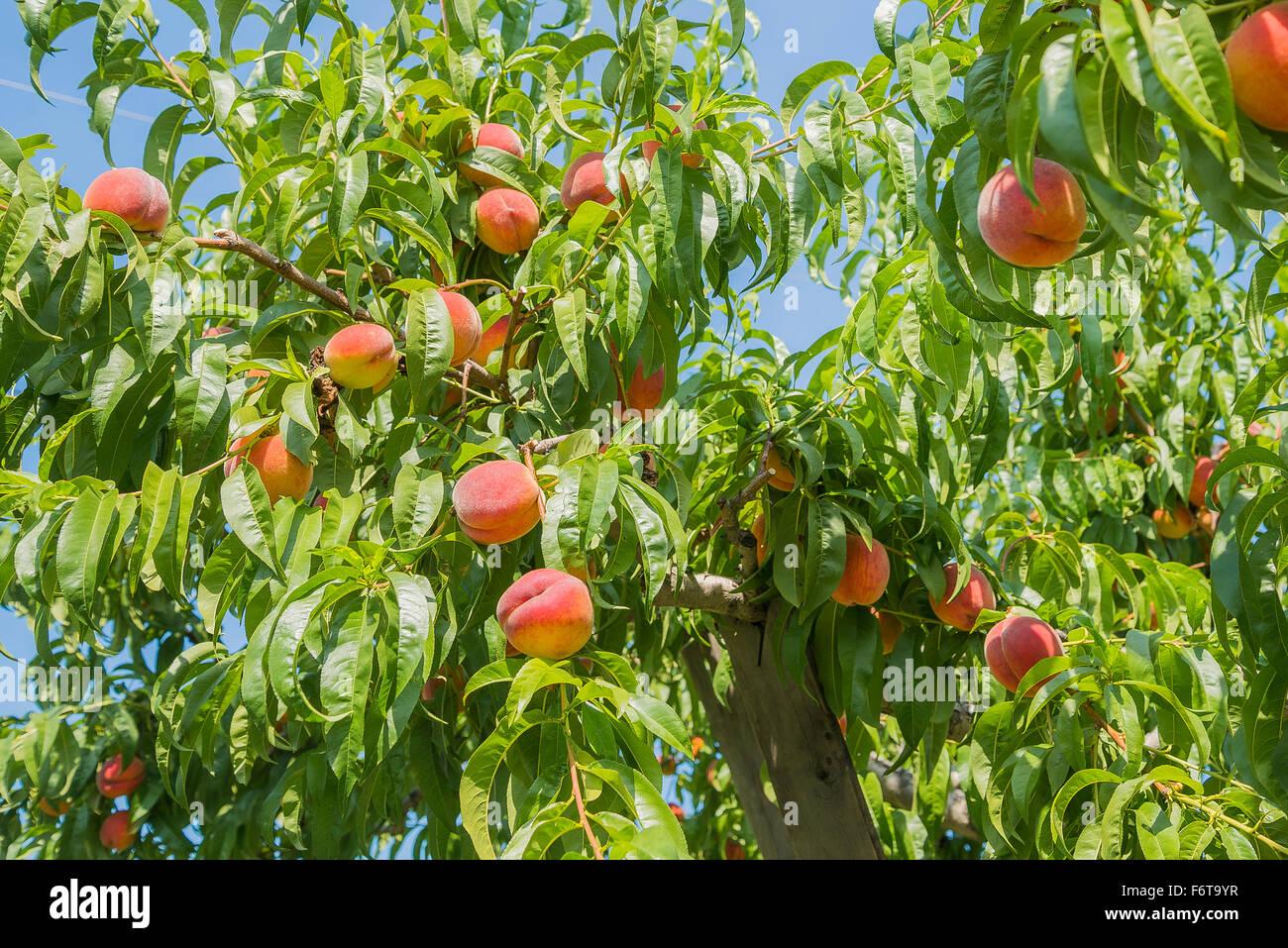 Pfirsichbaum im Obstgarten, Kelowna, BC, Kanada Stockbild
