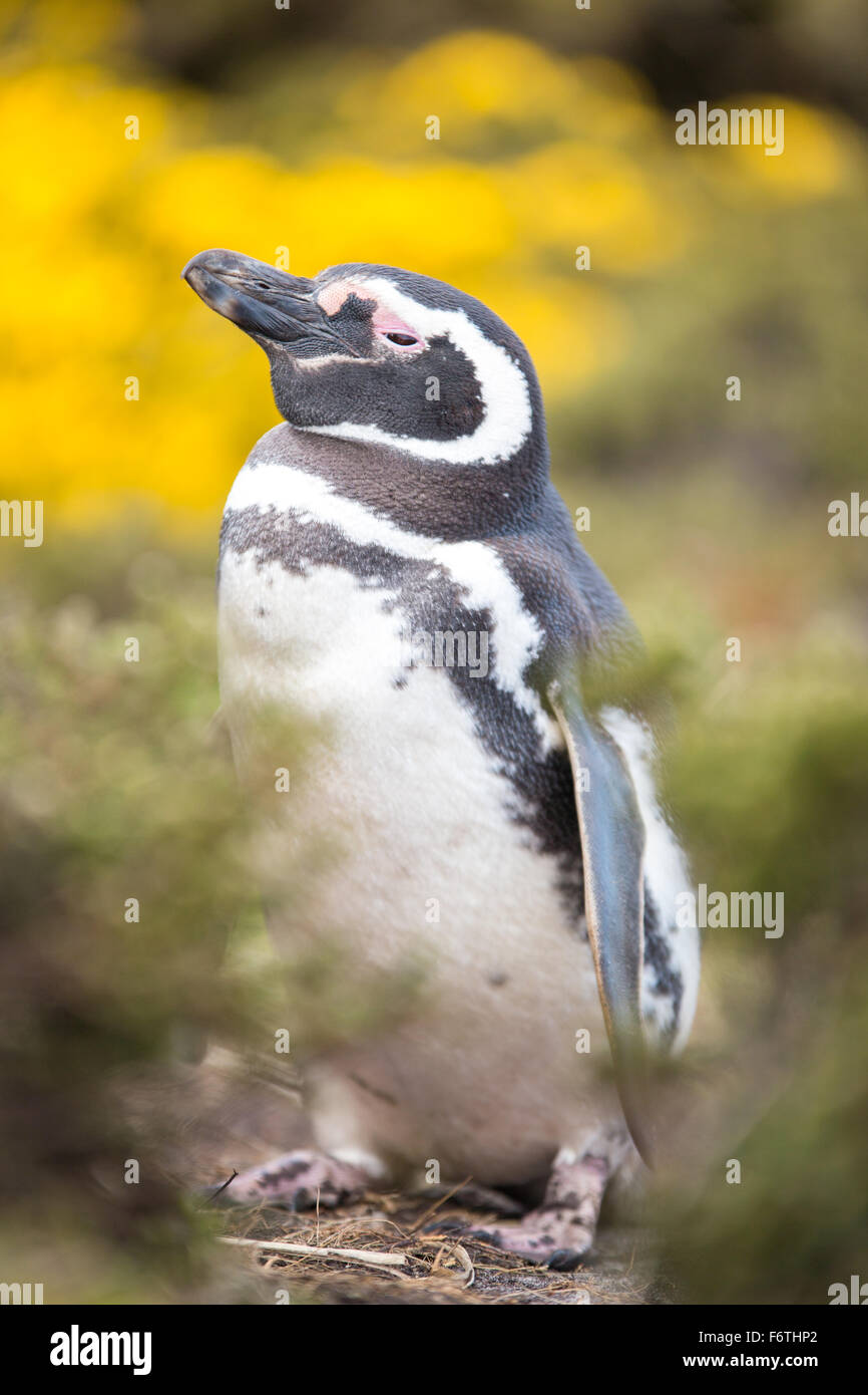 Magellan-Pinguin (Spheniscus Magellanicus) von Yellowflowering Bush. Gypsy Cove, Falkland-Inseln. Stockbild