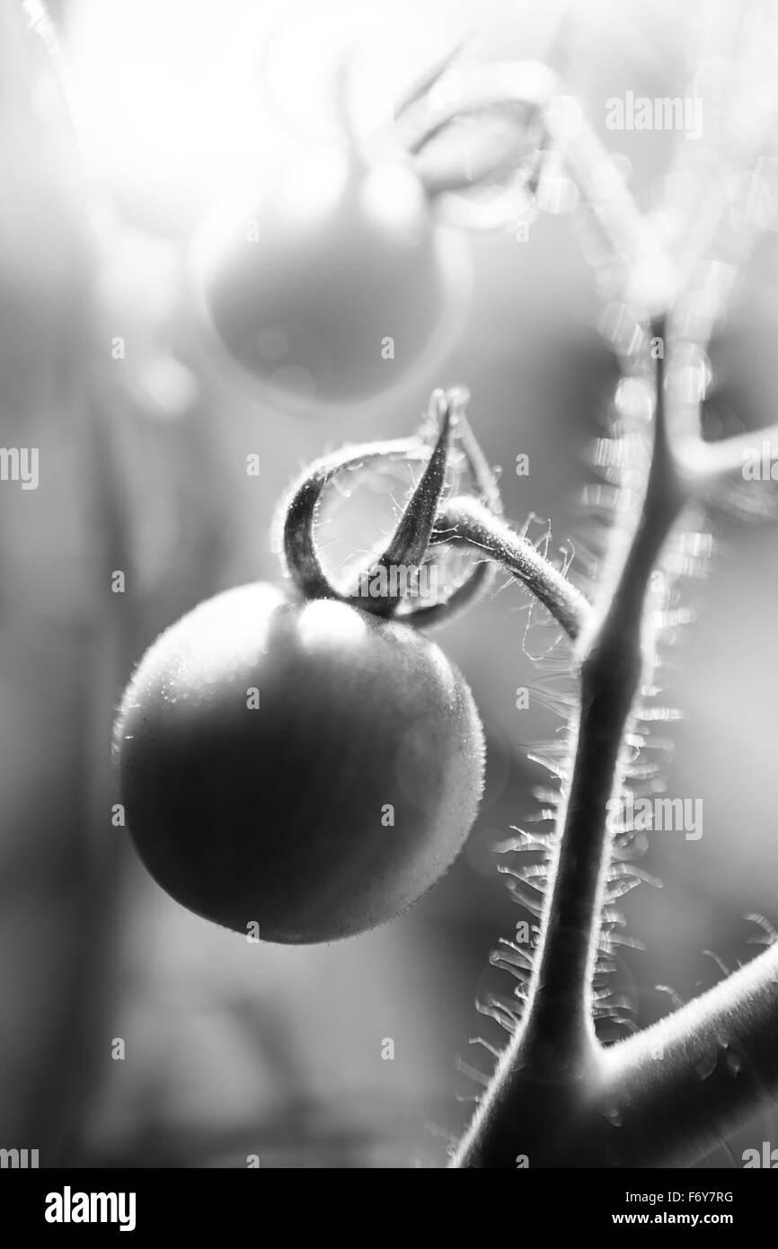 Nahaufnahme Detail Aufnahme Der Anbau Von Eigenen Tomaten In Ein Ein