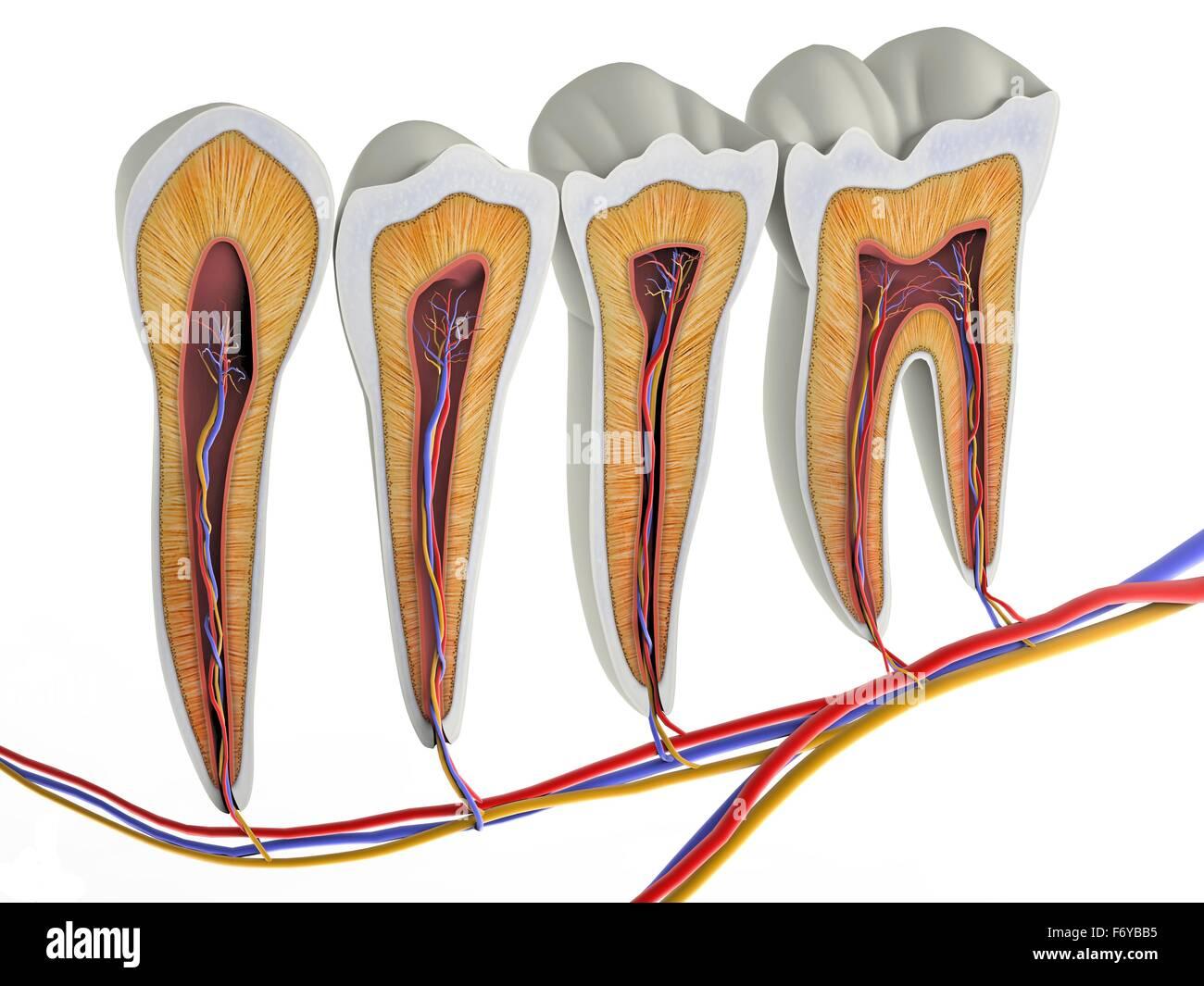 Atemberaubend Anatomie Der Zähne Tabelle Bilder - Menschliche ...
