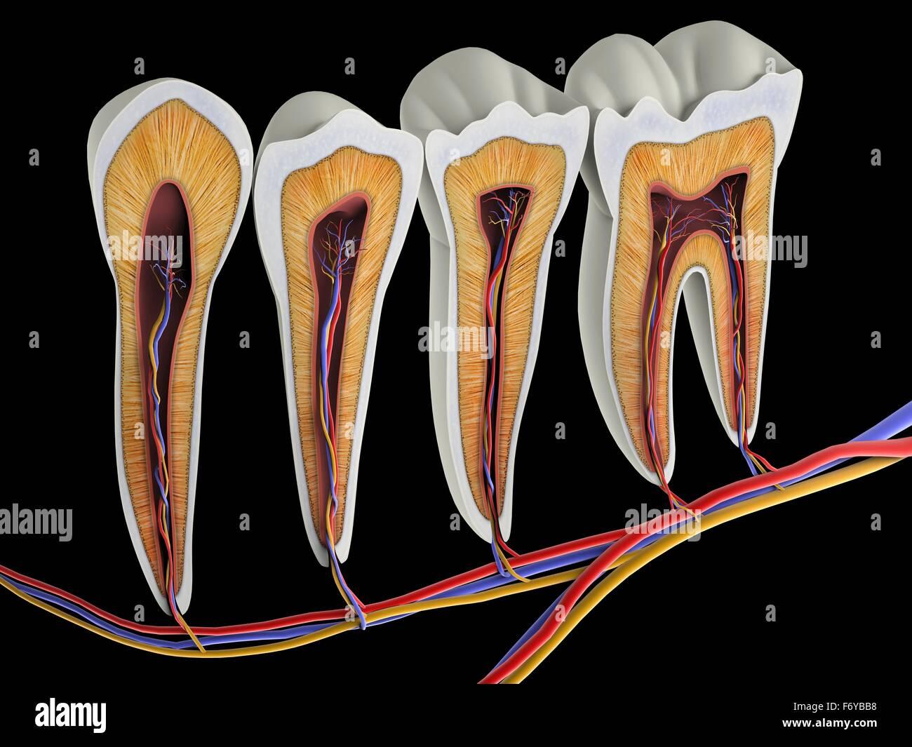 Zähne-Querschnitt, Artwork. Die obere (beißen) Oberflächen des ...
