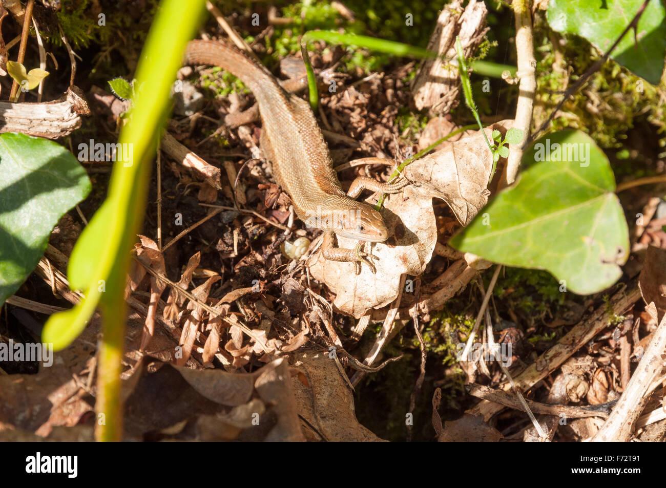 Braun gemeinen Eidechse (Lacerta/Zootoca Vivipara) mit abgeflachten Körper sonnen sich im März Sonne auf einer Bank in Devon Stockfoto