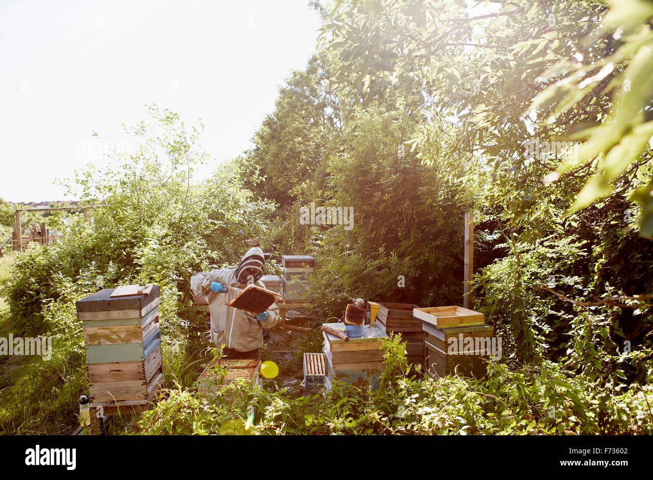 Ein Imker in einem Schutzanzug und Gesicht abdeckt, die Frames in seine Bienenstöcke inspizieren. Stockfoto