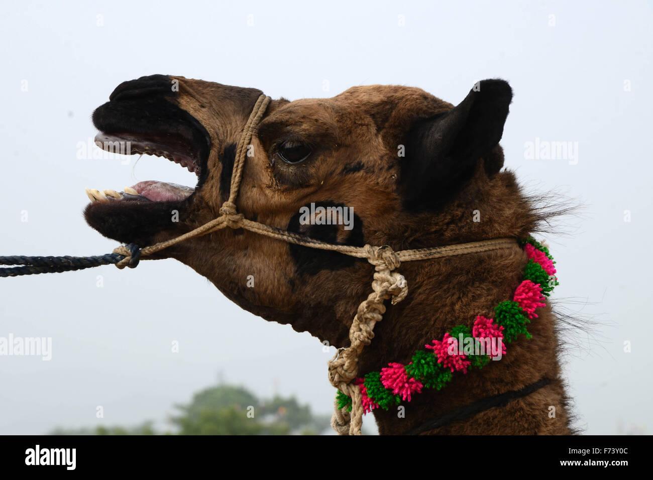 Kamel im Viehmarkt, Pushkar, Rajasthan, Indien, Asien Stockbild