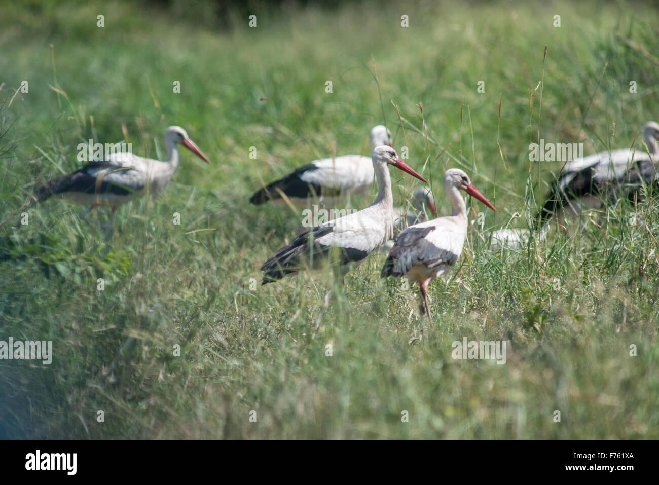 SOUTH AFRICA-Krüger National Park Störche (Ciconiidae) Stockbild