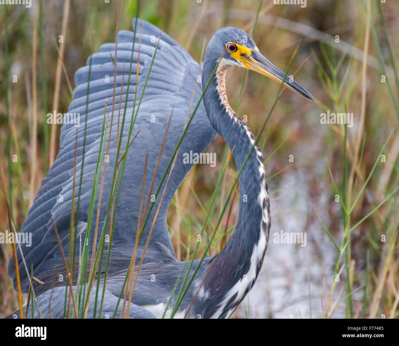 Einen dreifarbigen Reiher zeigt seine Dominanz gegenüber einem anderen Vogel. Stockbild