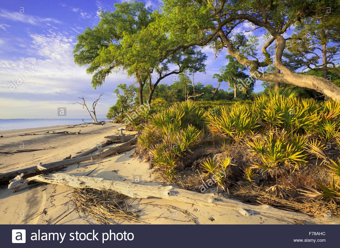 Strand mit Sand und Sägepalme Phaseneiche, St. Catherines Island, Georgia. Stockbild