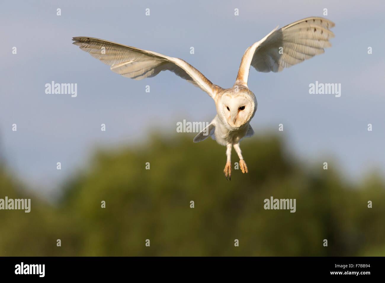 Schleiereule, fliegen. Stockbild