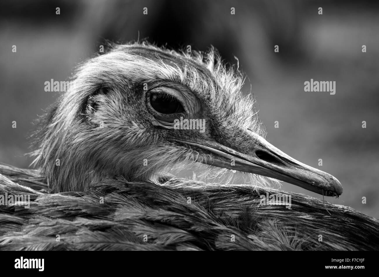 Schwarz / weiß-Kopfschuss von Emu (Dromaius Novaehollandiae) im Profil Stockfoto