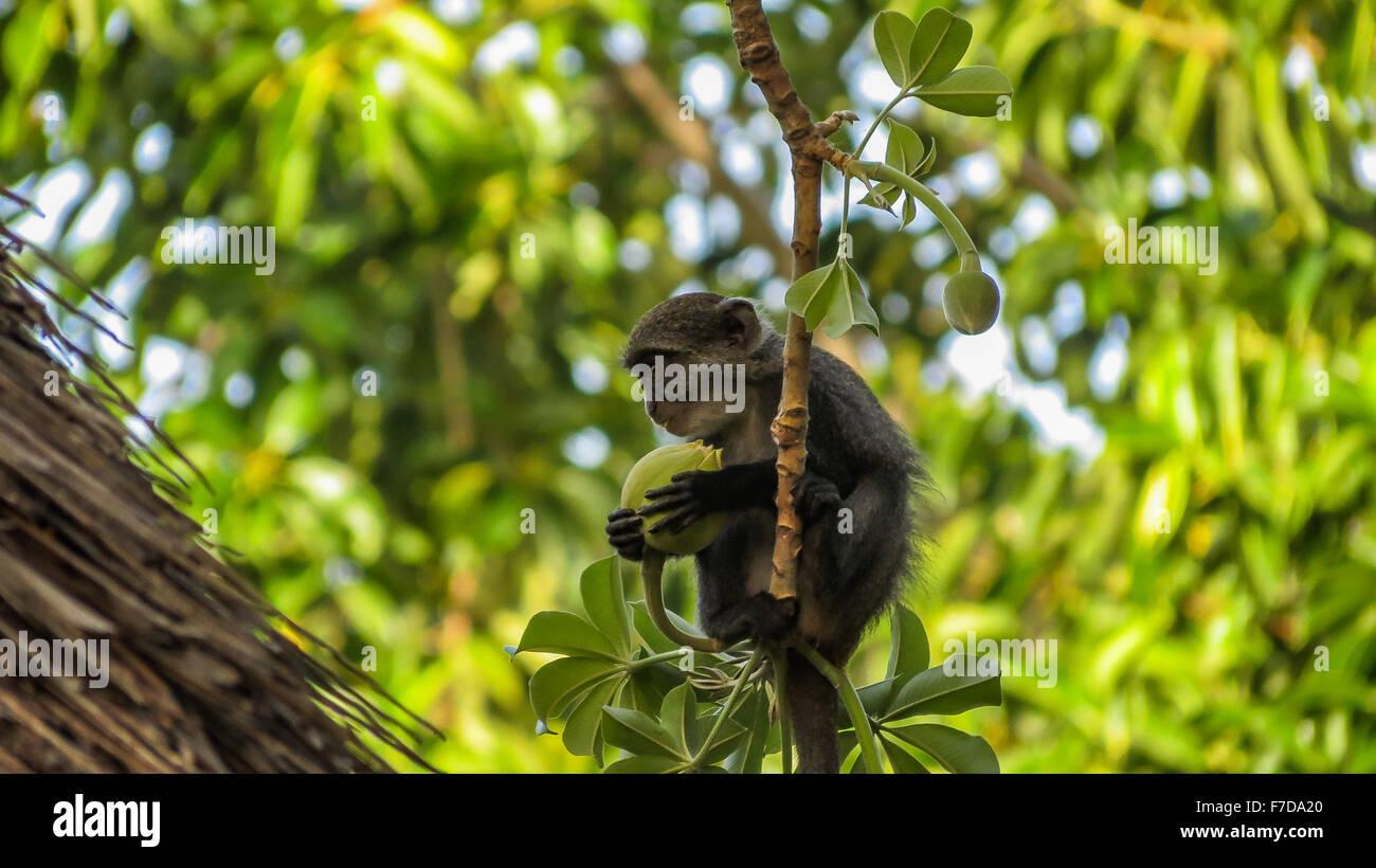 Kleinen blauen Affen Baobab Frucht gegessen Stockbild