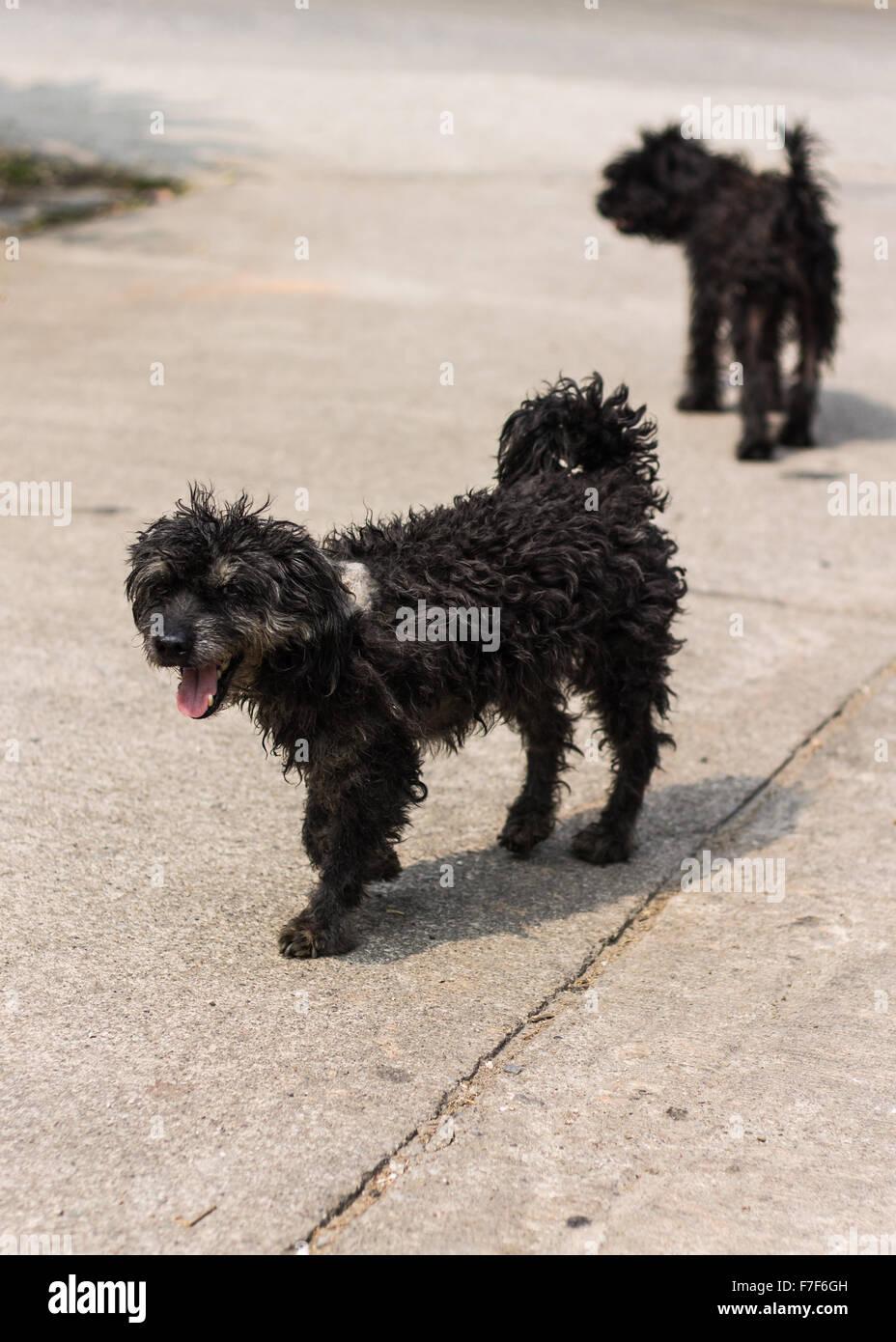 Schwarzer Zottigen Hund Pudel Mischling Stockfotografie Alamy