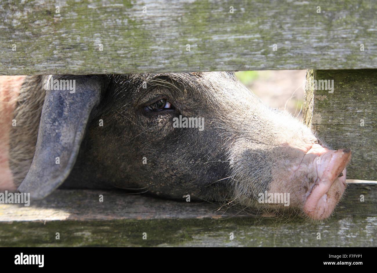 Wunderbar Schwein Drahtzaun Bilder - Die Besten Elektrischen ...
