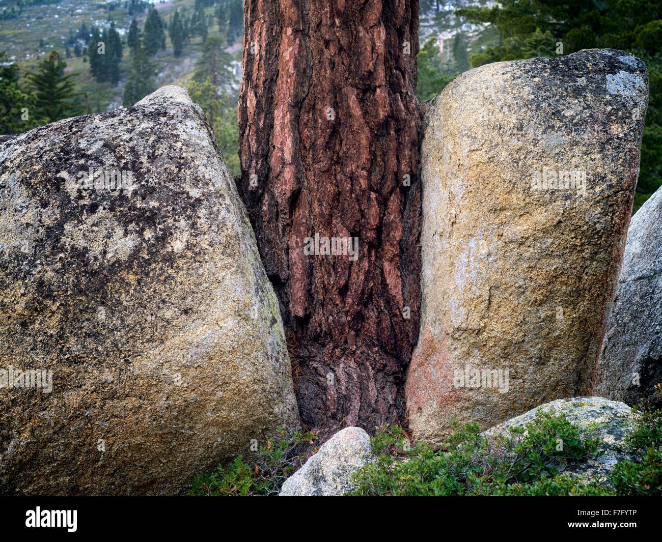 Ponderosa-Kiefer wächst zwischen zwei Granitfelsen. Lake Tahoe, Kalifornien Stockbild