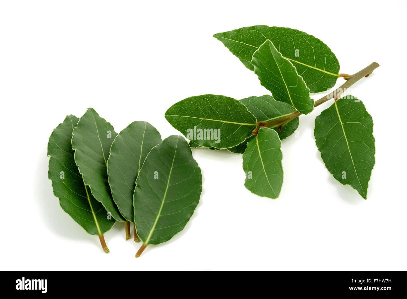 Lorbeerzweig und Blätter isoliert auf weißem Hintergrund Stockbild