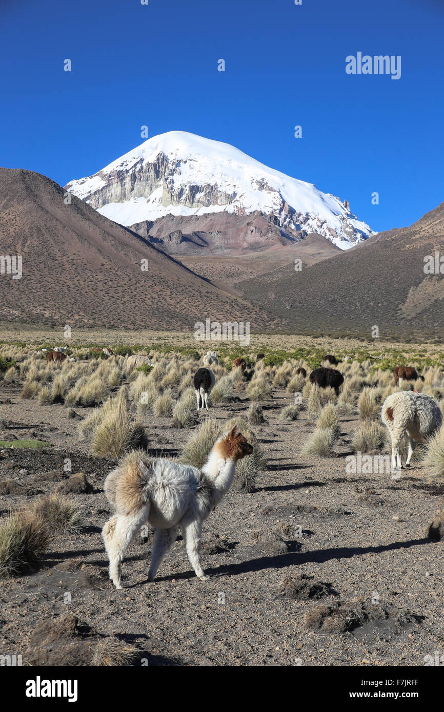 Die Anden-Landschaft mit Herde von Lamas, mit dem Sajama Vulkan im Hintergrund. Stockbild