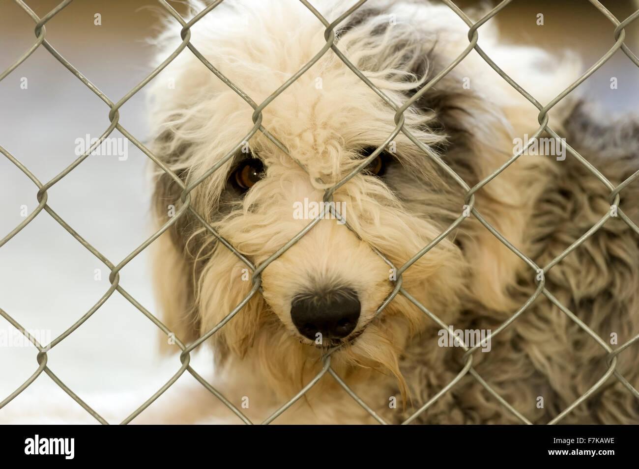 Tierheim Hund ein traurig aussehende Schäferhund peering hinter ...