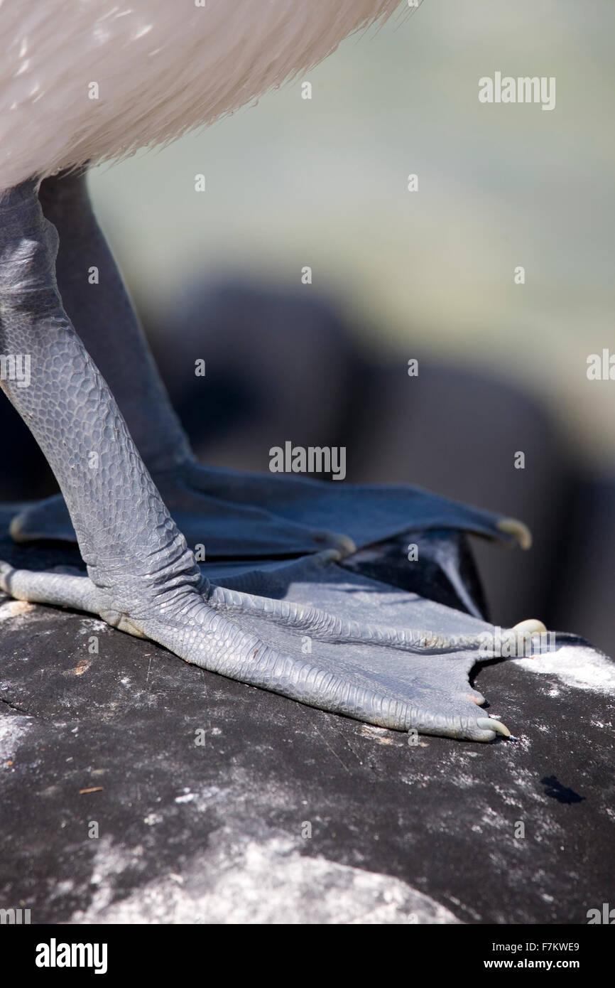 Nahaufnahme von den Schwimmhäuten ein Pelikan Stockbild